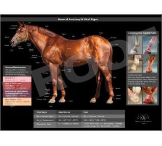 Poster de anatomia del caballo